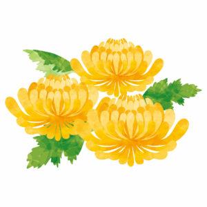 菊のイラスト